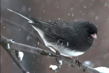 dark-eyed-junco-in-snow